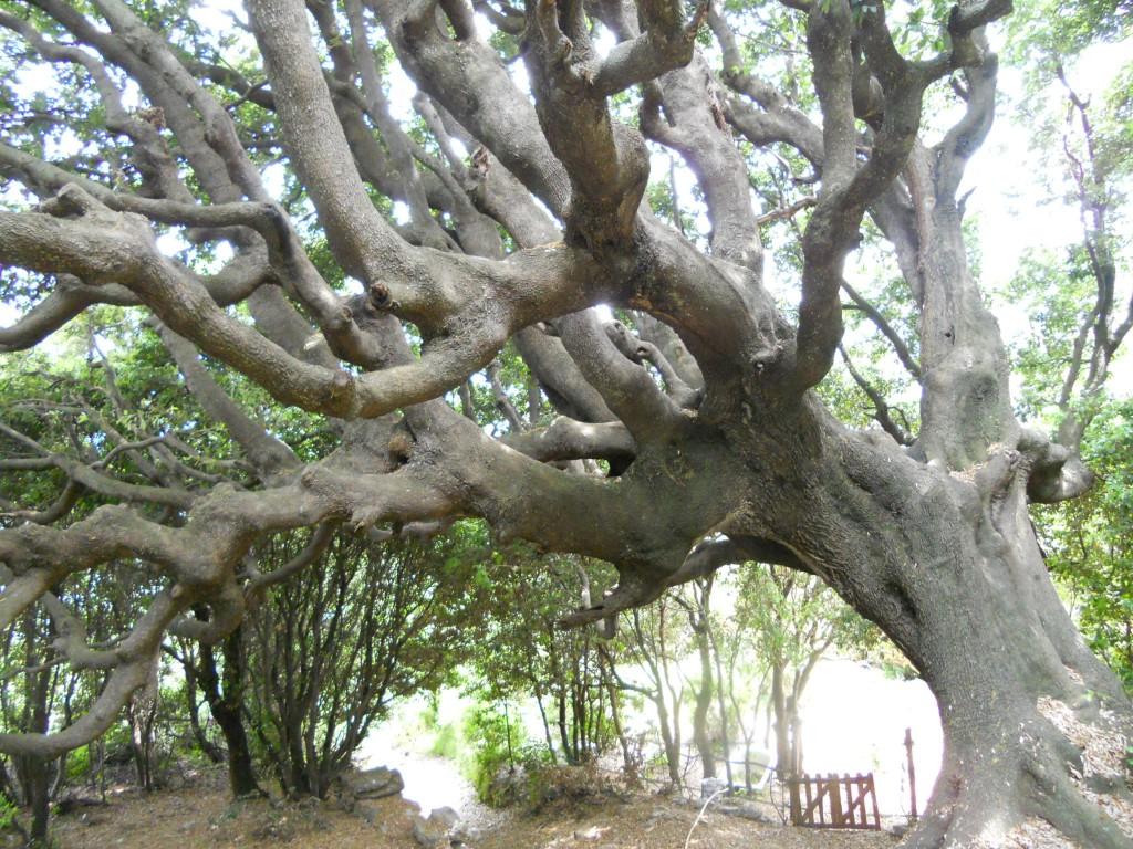 Chêne remarquable classé. Mai 2011. Photo D.A.