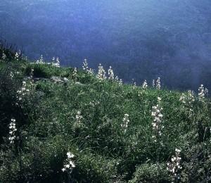 Asphodèles sur la colline de la Piolla. 1995. Photo D.A.