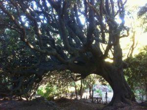 Chêne remarquable. Mai 2011. Photo D.A.