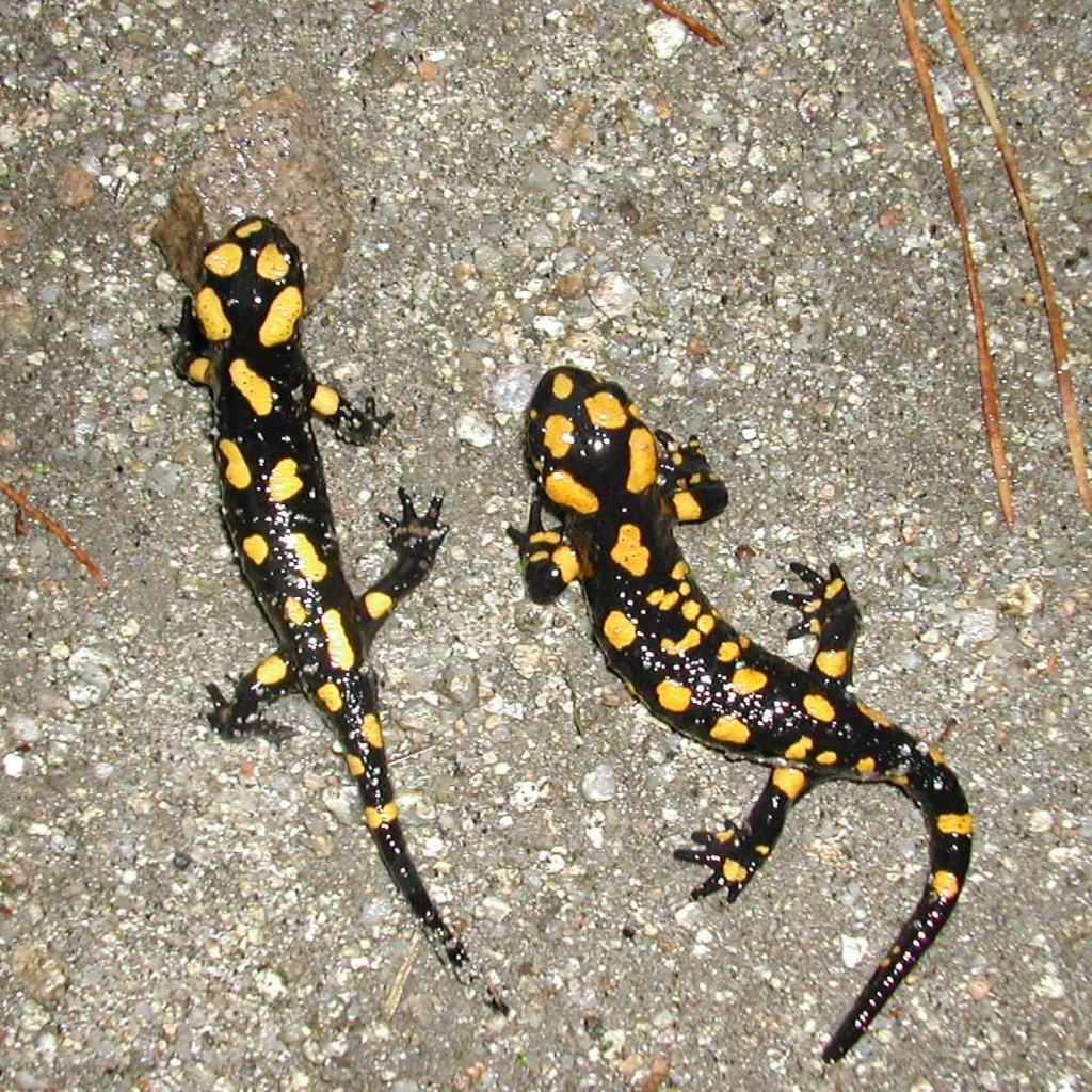 Salamandre de Corse - Photo DR