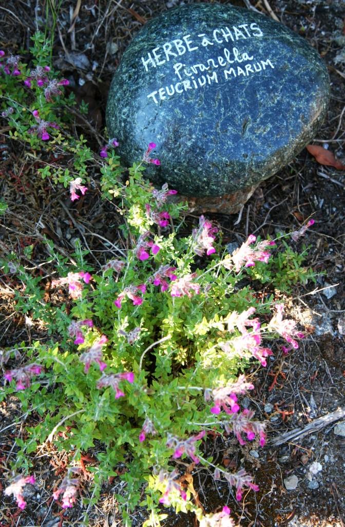 Sentier botanique Pietracorbara - Herbe à chats